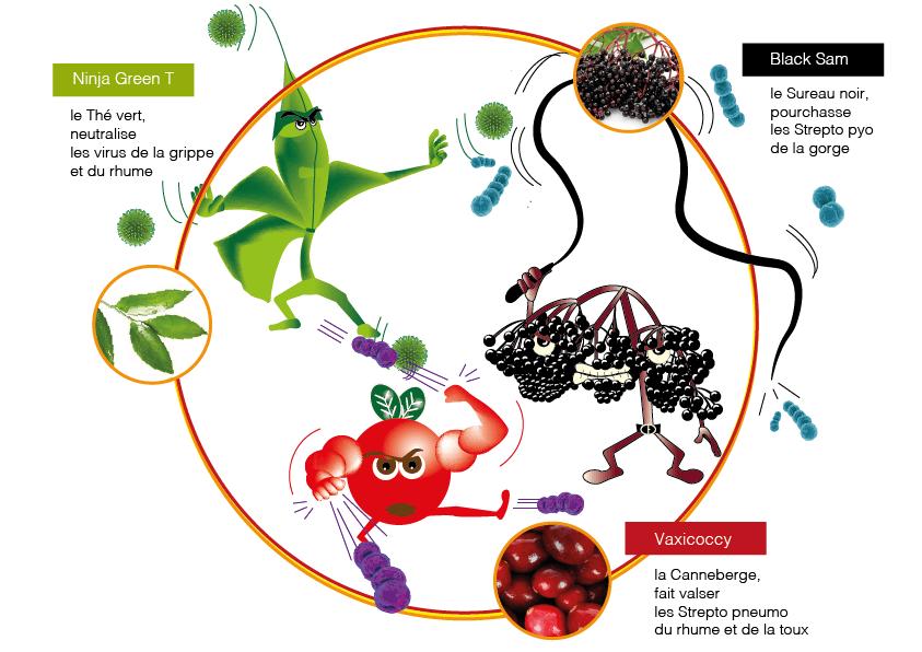 Polyphénols Thé vert Canneberge Sureau noir Vaccinium oxycoccos Sambucus nigra